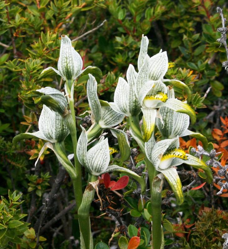 Orquidea porcelana, Porcelain or Magellanic orchid, Chloraea magellanica