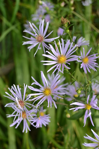 ASTER 'Chilly Fingers'