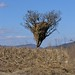 Zacate guardado en un árbol - corn stalks stored in a tree; San Miguel Piedras, Distrito de Nochixtlán, Región Mixteca, Oaxaca, Mexico por Lon&Queta