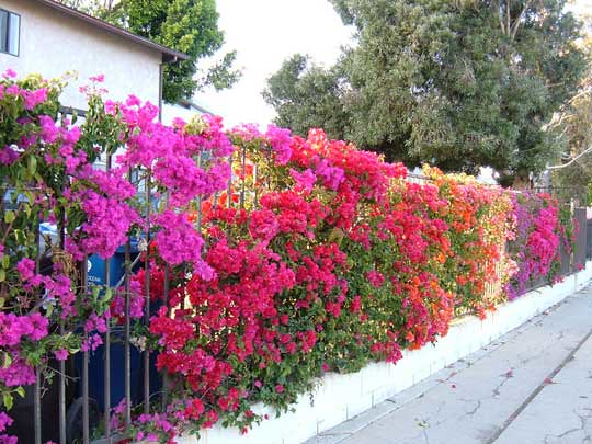multi bougainvillea