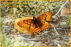 Purplish Fritillary Colorado Butterfly photography by Ron Birrell; DSC_0290