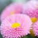 pink buttons by raspberrytart