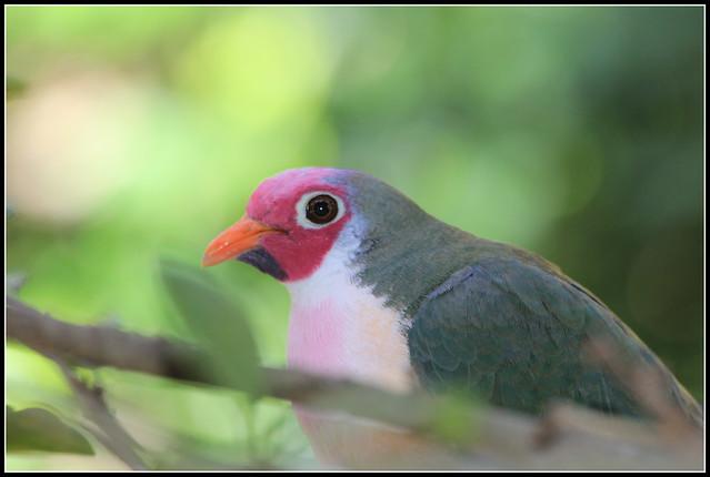 jambu fruit dove flying - photo #27