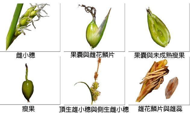 薹屬植物小海米之花部構造