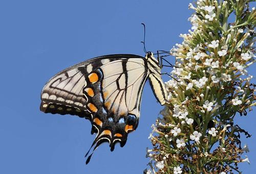 blue orange black yellow butterfly northcarolina swallowtail tigerswallowtail richmondcounty papilioglaucus eyespot