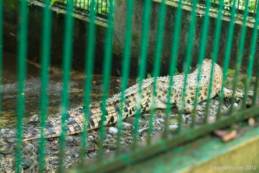 семенгох крокодилы