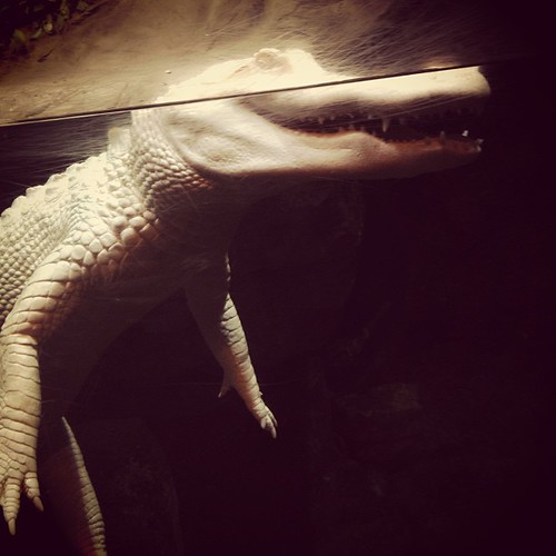 Albino alligator.