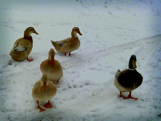 Pretty ducks