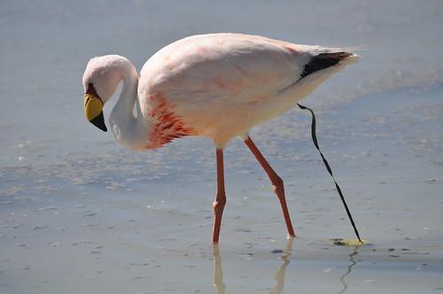 Flamingo-da-puna