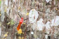 Spiky assassin bug (Reduviidae) in Quistococha - Iquitos, Loreto, Peru