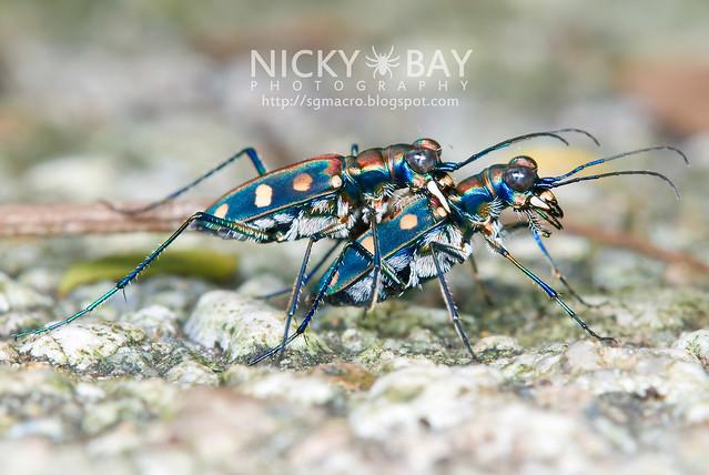 Tiger Beetle (Cicindelinae) - DSC_9943