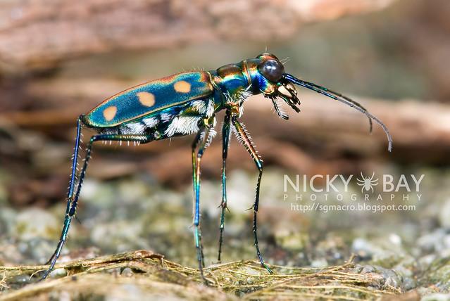 Tiger Beetle (Cicindelinae) - DSC_9934