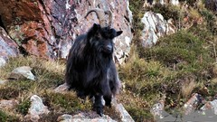 Portrail of a wild goat 8/11