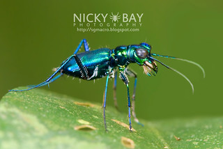 Tiger Beetle (Cylindera sp.) - DSC_9497b