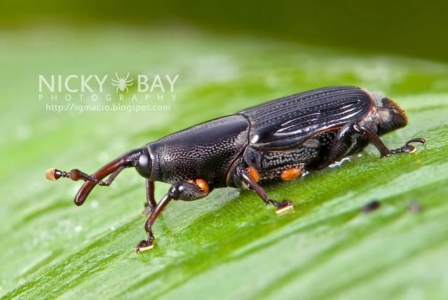 Agave Snout Weevil (Scyphophorus acupunctatus?) - DSC_7463