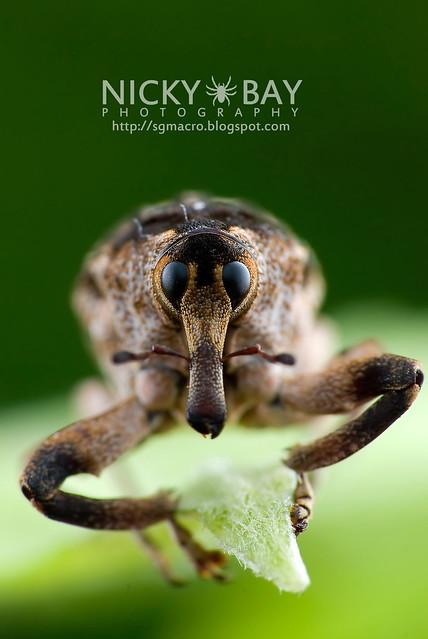 Weevil (Curculionidae) - DSC_9409b