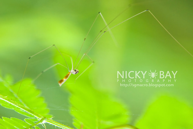 Cellar Spider (Pholcidae) - DSC_7162