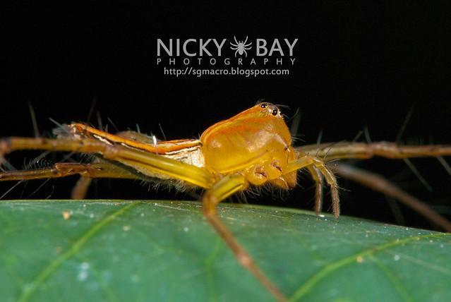 Lynx Spider (Oxyopidae) - DSC_6796