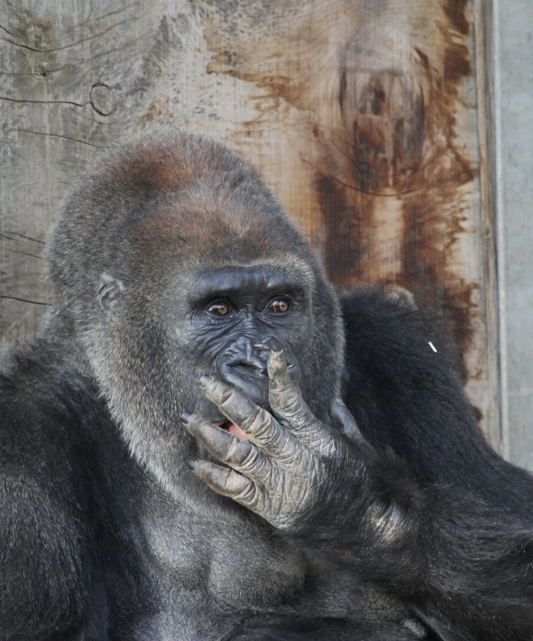 Stifling a Yawn - Gorilla | Flickr - Photo Sharing!