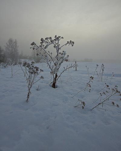 winter copyright snow plant cold fog canon finland dead eos helsinki paloheinä frost outdoor freezing 7d talvi damp lunta kasvi kuura canon1022mmf3545