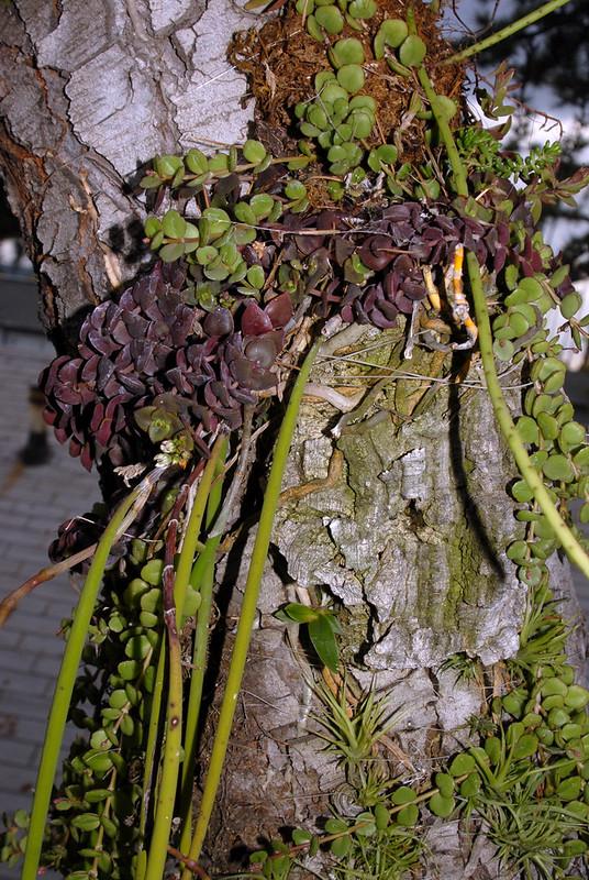 Dockrillia, Crassula, Orchid seedling