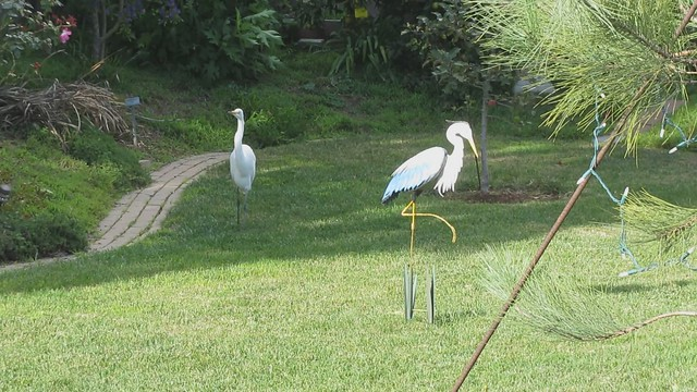 MVI_4979 great egret hop to backyard heron statue 21s