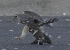 merlin kills white-winged dove