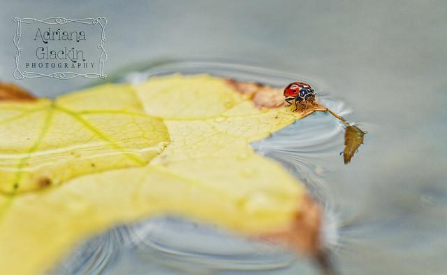 ladybird I