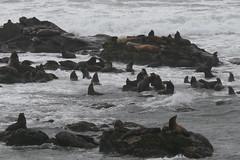 penguin(0.0), bay(0.0), flightless bird(0.0), shore(0.0), coast(0.0), seals(1.0), sea lion(1.0), marine mammal(1.0), sea(1.0), wave(1.0), rock(1.0),