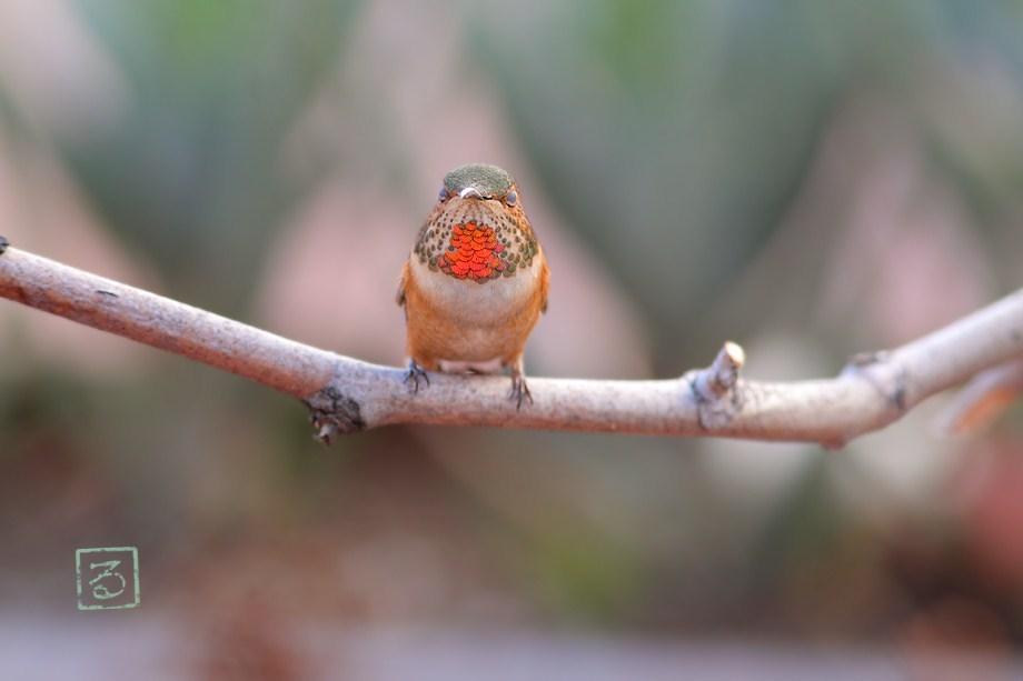 Allen's Hummingbird 011513-4
