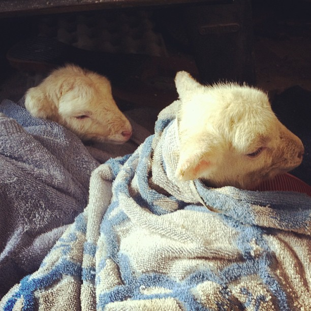 I've got lambs by my woodstove. Once they warm up, hopefully we can convince their mother to take them. #sigh #poorcoldbabies #katahdin