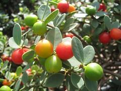 elaeagnus multiflora(0.0), calamondin(0.0), citrus(0.0), acerola(0.0), flower(0.0), strawberry tree(0.0), produce(0.0), food(0.0), bitter orange(0.0), lingonberry(0.0), evergreen(1.0), shrub(1.0), plant(1.0), arctostaphylos uva-ursi(1.0), fruit(1.0),