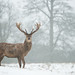 Red Deer - In Snowfall