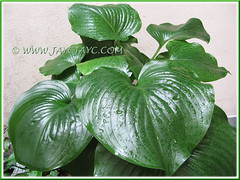 Lustrous foliage of our potted Proiphys amboinensis (Cardwell Lily, Northern Christmas Lily)