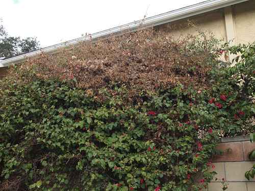 Frost damage on Bougainvilla