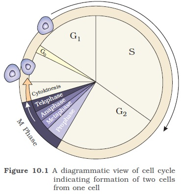 Ncert class xi biology chapter 10 cell cycle and cell division the cell cycle in only about 90 minutes the cell cycle is divided into two basic phases ccuart Choice Image