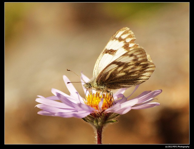 Unknown Marble Butterfly (Euchloe sp.)