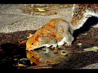 Squirrel having a drink