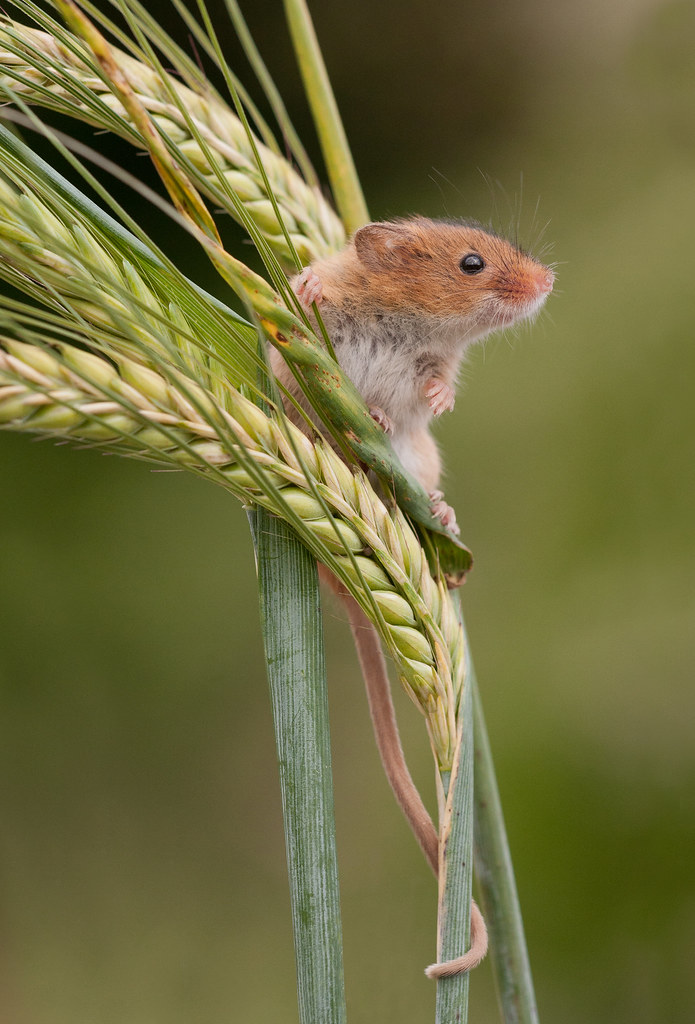 Harvest Mouse on Barley by Roy Langford, UK