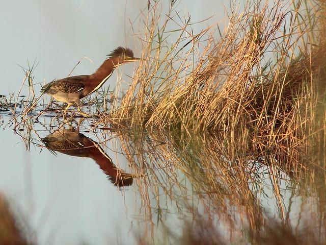 Green Heron 5-20121211