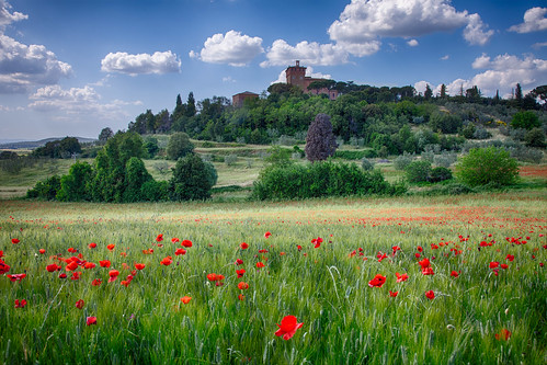 Tuscan Poppies-1