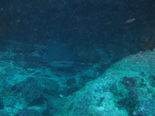 A white tip shark