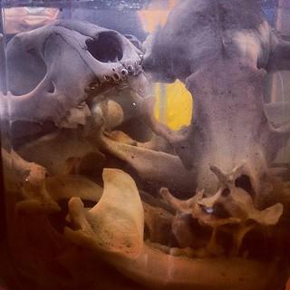 Bonelust: Whitening Bone Using Hydrogen Peroxide NOT