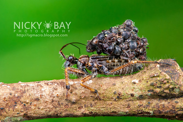 Ant-Snatching Assassin Bug (Acanthaspis sp.) - DSC_2033b