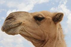 Camel Market (43)