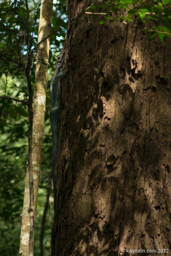 варан, малайзия лес