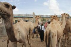 Camel Market (10)