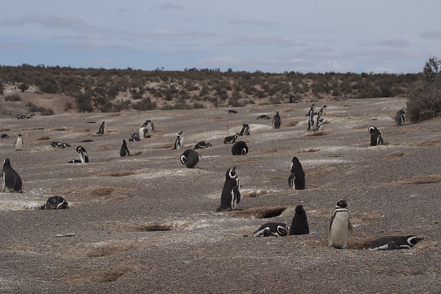 pingouins2_C210044