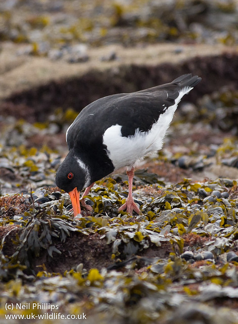 Oystercatcher feeding 3
