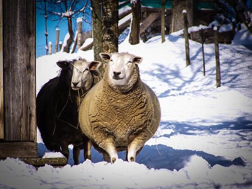 Schafskälte.jpg